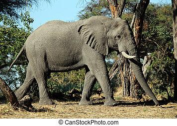 코끼리, khwai, 강, 보츠와나
