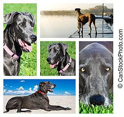콜라주, 사진, 멋진, 개, 덴마크인