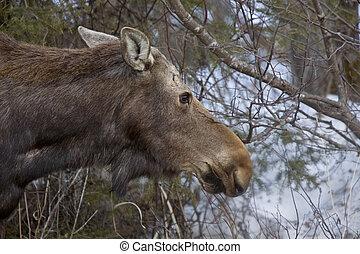 큰사슴, 겨울