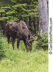 큰, 큰사슴, 숲