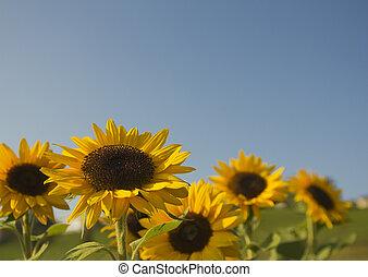 태양, 꽃