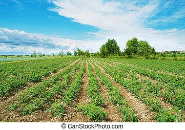 토마토, 들판, 통하고 있는, 밝은, 여름의 날