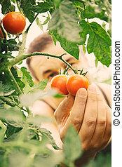 토마토, 수확