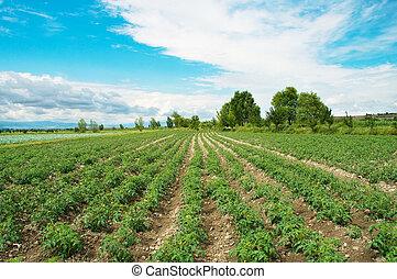 토마토, 여름, 밝은, 일, 들판