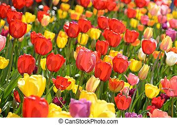 튤립, 정원, 에서, 봄