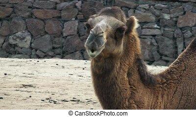 포유동물, 동물, 낙타