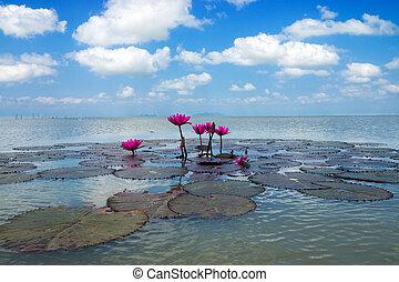 핑크, waterlily의, 꽃, 그리고 푸른색, 하늘, 와, 구름, 위의, 그만큼, lake.., (lotus)