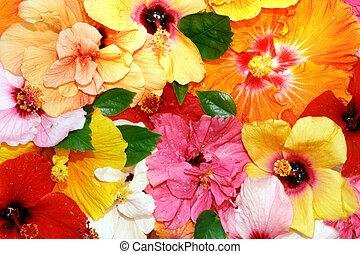 하이비스커스, 꽃