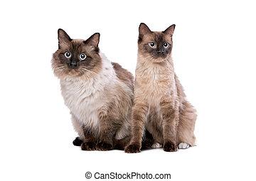 한 쌍, 의, ragdoll, 고양이