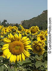 해바라기, 목초지, 에서, tuscany