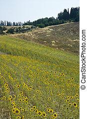 해바라기, 에서, tuscan, countryside.