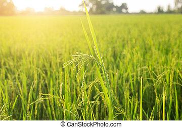 햇빛, 위로의, 들판, 타이, 끝내다, 쌀