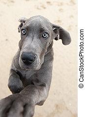 혼자서 젓는 길쭉한 보트, 심상, 의, a, 그레이트데인, 강아지