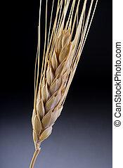 황금, wheat.