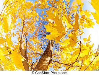 황색, 단풍나무, 잎, 구성, 위의, 하늘