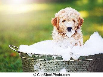 회복하는 사람, 숭비할 만한, 귀여운, 황금, 강아지