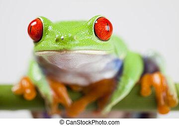 -, żaba, patrzył, zwierzę, mały, czerwony