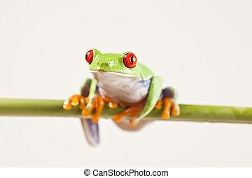 - , βάτραχος , άποψη , ζώο , μικρό , κόκκινο