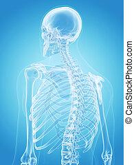 - , σκελετός , ανθρώπινο όν πίσω