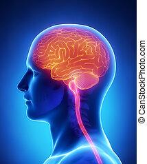 -, 脳, セクション, 解剖学, 交差点, 脊髄