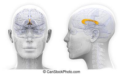 -, 隔離された, 解剖学, 脳, 女性, callosum, コーパス, 白