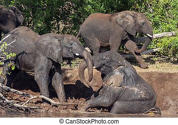 -, africaine, botswana, éléphants, afrique