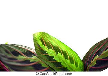 -, aislado, leuconeura, oración, maranta, planta