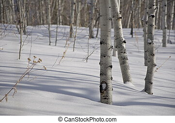 -, aspen, árvores inverno, colorado