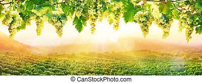 -, blanc, viticulture, raisin, coucher soleil