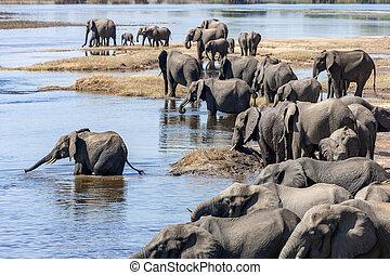 -, botswana, africaine, afrique, éléphants