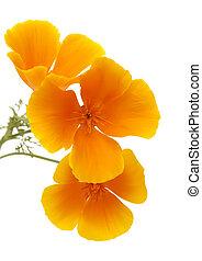 -, california, canaria, gran, papavero, flora