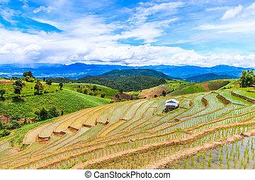-, campos, peang, tailandia, asia, arrozal, mai, papá, chiang, arroz, pong