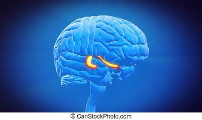 -, cerveau, partie, hippocampe
