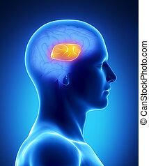 -, cerveau, partie, humain, callosum, corpus