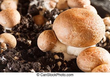 -, champignons, cultivado, cogumelos, fazenda