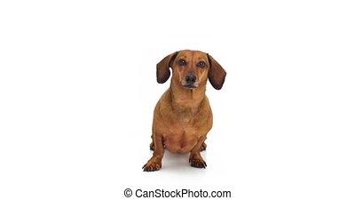 -, chien, appareil-photo., lécher, soi-même, regarder, teckel, 4k