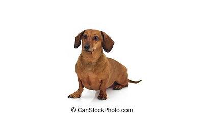 -, chien, dachshund., appareil photo, regarder, 4k