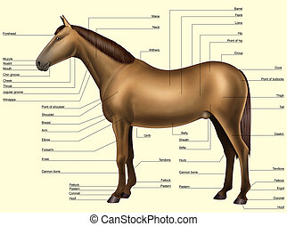 -, corps, anatomie, cheval, parties