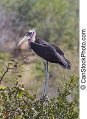 -, crumenifer), (leptoptilos, zimbabwe, cicogna, marabou