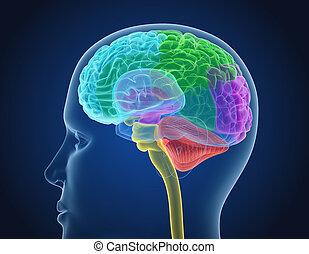 Anatomía Cerebral Interior Una Ilustración Médicamente