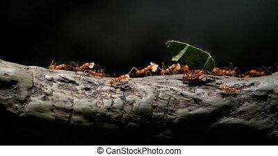 -, feuille-découpage, arbre, mouvements, fourmis, 4k, colonie