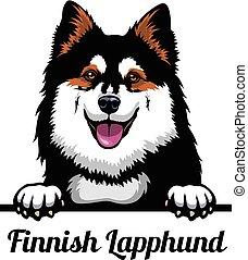 -, fiński, wizerunek, głowa, biały, lapphund, farbować tło, ...
