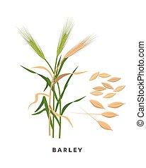 -, grani, fondo., vettore, cereale, disegno, isolato, botanico, bianco, erba, appartamento, illustrazione, orzo