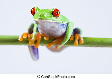 -, grenouille, observé, animal, petit, rouges