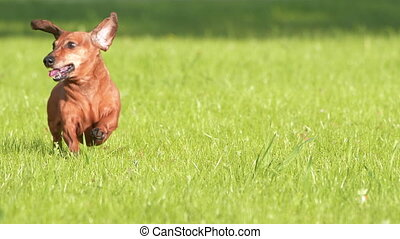 -, hd, chien, courant, grass., slow-mo