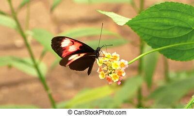 -, hd, mouvement, lent, butterfly., facteur