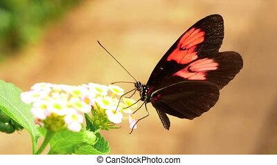 -, hd, mouvement, lent, gros plan, butterfly., facteur