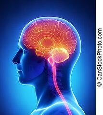 -, hersenen, gedeelte, kruis, anatomie