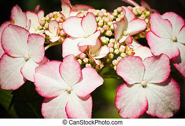 -, hortensia, hortensia, macrophylla, lacecap
