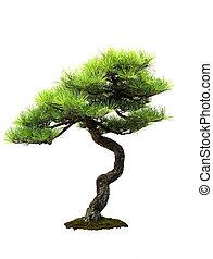 -, japończyk, sosna, densiflora, pinus, czerwony